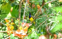 Olive-backed Sunbird (Cinnyris jugularis) (Steve Arena) Tags: kaengkrachan thailandbirding2017 thailand 2017 nikon d750 bird birds birding nature bansongnok petchaburi phetchaburi olivebackedsunbird cinnyrisjugularis sunbird