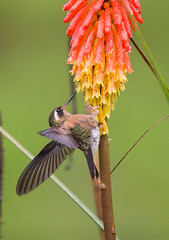 Speckled Hummingbird (Adelomyia melanogenys) (piazzi1969) Tags: andes rioblanconaturereserve ef100400mm markiii 5d eos canon fauna avifauna colombia wildlife nature birds hummingbird hummers adelomyiamelanogenys speckledhummingbird elements kolumbien