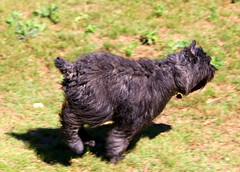 Lola at a Gallop (austexican718) Tags: dog canine akc herdinggroup bouvierdesflandres pedigreed puppy pet motion canon eos70d ef70300mm456isusm