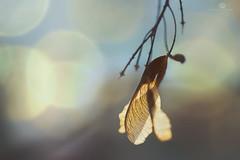 i wear my heart on my sleeve (rockinmonique) Tags: inmyneighbourhood seed seedpod light macro yellow gold blue green shadow moniquewphotography canon canont6s tamron tamron45mm copyright2018moniquewphotography