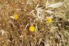 Ψίνθος (Psinthos.Net) Tags: ψίνθοσ psinthos nature φύση εξοχή countryside drygrass ξεράχόρτα pollen γύρη χωράφι field άγριαλουλούδια αγριολούλουδα wildflowers flowers λουλούδια φώσ light φώσήλιου φώσηλίου sunlight spring may άνοιξη μάιοσ μάησ