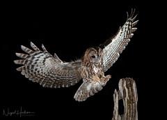 Tawny Owl (oddie25) Tags: 300mmf28mkii canon 1dxmkii owl tawny tawnyowl birds birdphotography bird birdofprey nature naturephotography wildlife wildlifephotography ianhowells