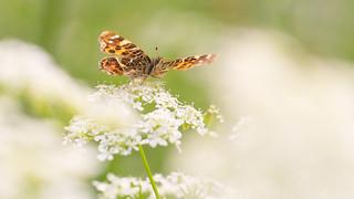 Landkaartje - Map Butterfly - Araschina levana