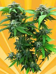 Chunky_Skunk_4f0b79faaf2d2-1 (Watcher1999) Tags: chunky skunk perfect cannabis plant feminized medical marijuana seeds bob marley growing weed smoking reggae ganja legalize it