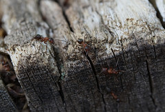 (_nature_p1xx_) Tags: macro makro macrophotography animal insect ant bark closeup wildlife day textured outdoor outdoors nature trunk wood
