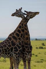 Necking (tomi.a) Tags: uganda africa murchisonfallsnationalpark giraffe necking animals nature safari rothschildsgiraffe giraffacamelopardalisrothschildi environment savannah murchison travel wildlife flickr horizon sky mountains landscape