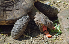 Carrots Down the Hatch (MTSOfan) Tags: tortoise carrots eating lunch mouth tongue lvz