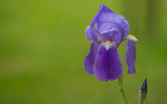 Iris (02) (Vlado Ferenčić) Tags: iris homeflowers flowers vladimirferencic perunika vladoferencic macro closeup closeuomacro nikond600 hrvatska croatia zagorje sigma15028macro bokeh dof macromademoiselle