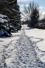Path in Snow (Bracus Triticum) Tags: path snow calgary カルガリー アルバータ州 alberta canada カナダ 3月 弥生 さんがつ yayoi newlifemonth 2018 平成30年 spring march 三月 sangatsu