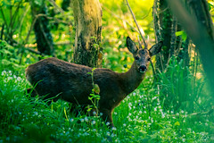 Brocard (j_lebloch) Tags: chevreuil brocard roedeer europeanroedeer capreoluscapreolus capreolus nature naturephotography naturephoto wildlife wildlifephotographer wildanimal bretagne brittany