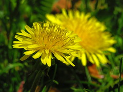 IMG_4180 (PGK88) Tags: outdoors pgk88 2018 flower bloom blossom spring springtime nature closeup macro plant garden dandelion dandelions yellow