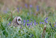 AX1I7908.jpg (robinlee667) Tags: unitedkingdom what strigiformes shortearedowlasioflammeus where wales europe skomerisland owl