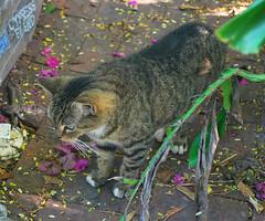 Key West (Florida) Trip 2017 0320Ri 5x6 (edgarandron - Busy!) Tags: florida keys floridakeys keywest cat cats tabby tabbies feral