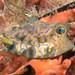Lactoria fornisini cowfish