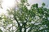 Tree in the Sun (benakersphoto) Tags: film filmgrain filmscanner filmisnotdead agfa agfavista200 agfafilm agfavista sanfrancisco tree colorful sunny plany sun sanfran bright vivid colourful colours style usa green pentax