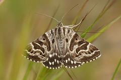 Callistege mi (henk.wallays) Tags: callistegemi date callistege arthropoda noctuidae lepidoptera year2018 aaaa nature macromoths insect location france europa gard rousson