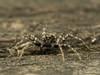 Famille Lycosidae - Pardosa sp. (Répertoire des insectes du Québec) Tags: arachnide araignée arachnida macro quebec spider