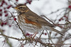 Redwing (drbut) Tags: redwing turdusiliacus winterthrush wintervisitor bird birds trees berries nature wildlife canonef500f4lisusm