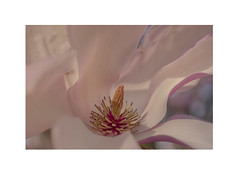 The core (static_dynamic) Tags: magnolia pink flower spring macro soft bloom core petals nature