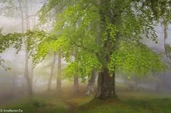 Elusive  Spring (IrreBerenTe Natalia Aguado) Tags: trees árbol elusivespring rain longexposure landscape naturallandscape nature green primavera spring niebla fog nataliaaguadoirreberente forest bosque parquenaturaldeoyambre cantabria