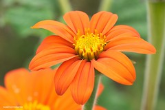 (JSB PHOTOGRAPHS) Tags: d2x1547 flowers owenmemorialrosegarden owenrosegarden eugeneoregon nikon d2x 60mm