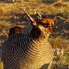 Angry bird.  Lesser Prairie-Chicken (Tympanuchus pallidicinctus) male on a lek.  Milnesand Prairie Chicken Area.  New Mexico, USA. (cbrozek21) Tags: lesserprairiechicken tympanuchuspallidicinctus newmexico prairiechicken angrybirds bird animal nature lek birdbehavior