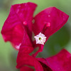 Colour!!! (_aires_) Tags: aires iris bougainvillea red green pink macro bokeh canoneos5dmarkiv canonef100mmf28lmacroisusm limaperu