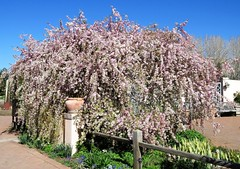 Spring's Bounty (Patricia Henschen) Tags: denver colorado botanic garden denverbotanicgardens gardens spring tree crabapple blossoms flowers urban pathscaminhos walkway sidewalk trees