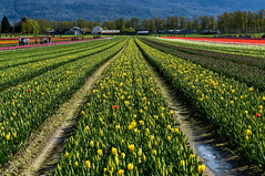 Tulips of the Valley Festival - Chilliwack (SonjaPetersonPh♡tography) Tags: chilliwack tulipsofthevalleyfestival tulips tulipfields tulipfestival bc britishcolumbia canada fraservalley tulip festival nikon nikond5300 scenery scenic views farmequipment