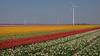 Tulip field Holland (Alex Verweij) Tags: tulp 2018 tulip tulpen tulips bollenveld bollen flevoland almere alexverweij xt20 fujifilm