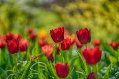 tulip patch (kderricotte) Tags: sony sonya7ii depthoffield bokeh flower tulip garden meadowlarkbotanicalgardens ilce7m2 sonyfe85mm18 sel85 sel85f18