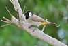White-eared bulbul (RAMI SABER DAHMOUS) Tags: ramidahmous rami ramisaber nikond500 nikon lens70300vr whiteearedbulbul birds bulbul