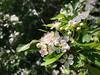 Blooming bush (nenos_79) Tags: iphonephotography bulgaria beautiful plovdiv macrodreams macro nature bloomingbush bushes flower flora plant