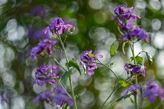 Lunaria annua. (agnieszka.a.morawska) Tags: garden bokeh dof helios44m helios bkhq beyondbokeh bokehlicious flower kwiat lunaria