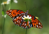 While away the hours. (Jill Bazeley) Tags: gulf fritillary butterfly agraulis vanillae bidens alba spanish needles aster viera wetlands insect antenna backlit wings soft focus lepidoptera mariposa