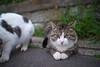 K1_22881.jpg (akahigeg) Tags: 猫