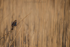 Female Red-winged Blackbird (srimanthks) Tags: wildlife birds photography spring brown marsh nature