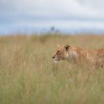 Lioness thumbnail