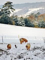 20101220 Snowpigs ([Ananabanana]) Tags: nikon d40 gimp photoscape tamron 70300mm 70300 tamron70300mm tamron70300mmaff4556dildmacro tamronaf70300mmf456dildmacro tamronaff4556dildmacro 70300mmf456dildmacro 70300mmf456dildm nikonistas nikonista uk unitedkingdom dorking ranmore ranmorecommon farm rural farmland surrey countryside snow snowy winter pig pigs porcine ice cold