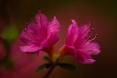 125/365 (Garen M.) Tags: spring macro flowers flora nikond850 petals color bloom nikkor105mmf28macro springtime valleyforge