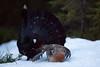 Storfugl - Tiur - Capercaillie.jpg (Robert Fredagsvik - Norway) Tags: norway sørtrøndelag storfugl tiur birds forrestbirds lekkingbirds forrest capercaillie fuglernorge birdsnorway vögel norwegen norge vögelnorwegen norwegiannature canon
