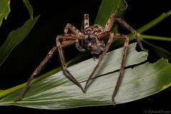 Brown huntsman spider (Heteropoda jugulans) possible cannibalism (edward.evans) Tags: brisbanehunstman brownhuntsman heteropodajugulans heteropodacervina cairns far north queensland australia invert arachnid araneae sparassidae spider venom huntsman heteropoda