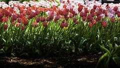 Tulip Time 2018 (hz536n/George Thomas) Tags: 2018 canon5d canon ef24105mmf4lisusm flora flower tulip tulipa holland michigan spring mike copyright cs6 nik tuliptime