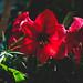 Red Lilies 5/7/18 #stpaul #minnesota #comoconservatory #flowers