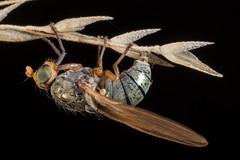 Lauxaniid Fly (zosterops) Tags: ustralia tasmania hobart knockloftyreserve canoneos6d canonmacrolensmpe65 macro insecta diptera lauxaniidae sapromyza
