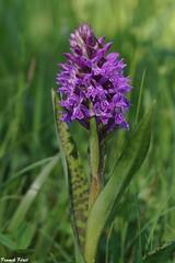 Dactylorhize de mai (Dactylorhiza majalis) - Les Lachères - Palantine (francky25) Tags: dactylorhize de mai dactylorhiza majalis les lachères palantine orchidée sauvage franchecomté doubs orchids flore botanique