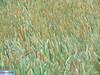 IMG_3783 (superingo78) Tags: eifel monschau felder gras grün natur blumen blüten