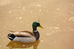 Mallard (Zawodowy Fotograf) Tags: bird nature bayonne rutkowski park hudsoncounty new jersey canon5dmarkiii ef 100400 l canon 5d mark iii hudson county