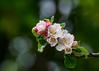 Apple Blossom (paulward972) Tags: appleblossom flower petal m300mmf40mc14 olympusem1markii npc