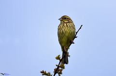 Cirl Bunting (f). (Explored). (spw6156 - Over 6,560,030 Views) Tags: cirl bunting f copyright steve waterhouse explored